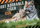 Most Adorable Tiger Cub Pics